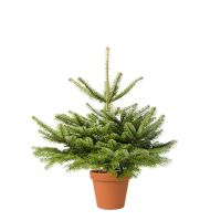 Nordmanntanne Weihnachtsbaum.Weihnachtsbaum Guru